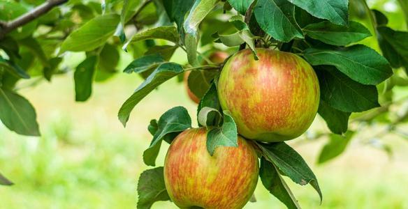 Jak vybrat jabloň?